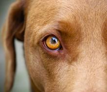 Brown Labrador Yellow Eye Clos...