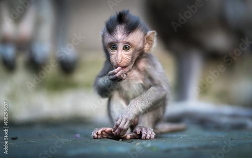 Foto op Plexiglas Aap Baby Macaque Monkey