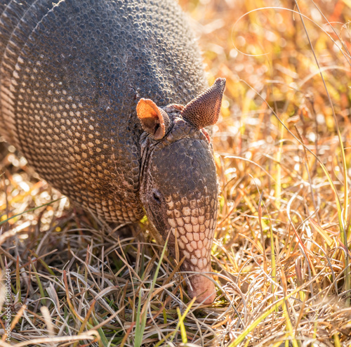 armadillo searching for food at sunrise Canvas Print