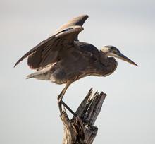 Great Blue Heron Prepares To Take Flight