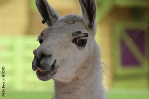 Staande foto Lama Funny Face / Portrait of a White Llama