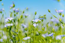 Blue Flax Flowers Closeup