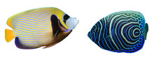 Emperor Angelfish: Adult And J...