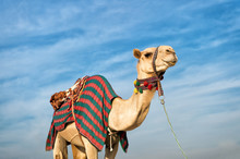 Camel Against Blue Sky