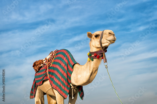 Foto op Canvas Kameel camel against blue sky