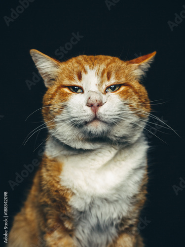 Ginger Sirius Cat Portrait Front View Canvas Print