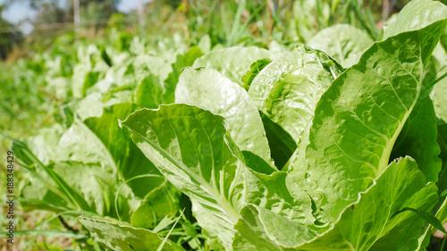 Fotografie, Obraz  Fresh vagatable in farmland.
