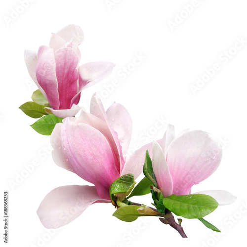 tender spring pink magnolia flower isolated on white background