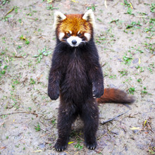 Red Panda. Red Panda Stands On...