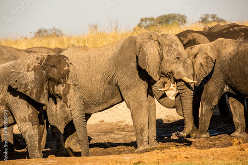 Poster Afrika Botswana, wild elephants at sunset near the Okavango Delta, Africa