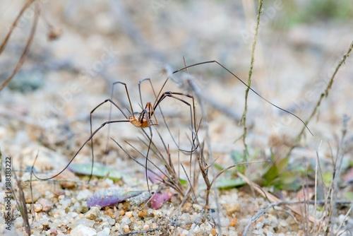 Horn-Weberknecht oder Hornweberknecht (Phalangium opilio), Männchen, steht auf Sandboden mit schütterer Vegetation, Lüneburger Heide, Niedersachsen, Deutschland, Europa