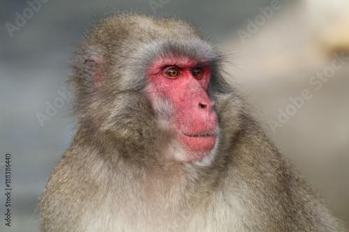In de dag Japanese macaque