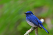 Hainan Blue Flycatcher (Cyornis hainanus) lovely blue and white with big eyes bird perching on a branch in forest, fascinated nature