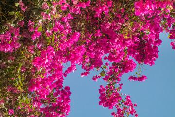 Panel Szklany Egzotyczne Pink bougainvillea flowers.