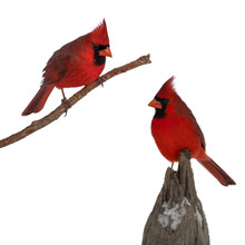Isolated Male Northern Cardinal Birds On White Background