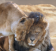 Portrait Of  Lion With Lioness...