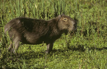 Side View Of Capybara Standing...