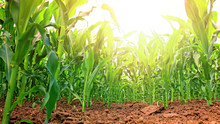 Green Corn Field On Sunny Day