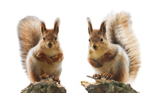 Portrait Of Two Cute Red Squir...