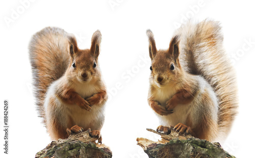 portrait of two cute red squirrel with fluffy fur and tail on a white isolated background