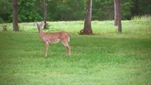 Startled White Tail Deer Bucks...