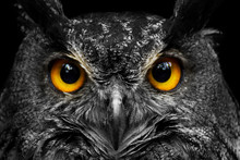 Black And White Portrait Owl W...