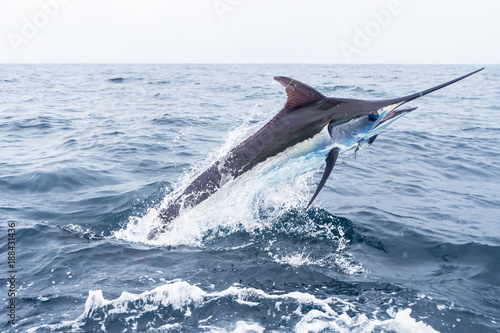 Blue Marlin jumping Wallpaper Mural