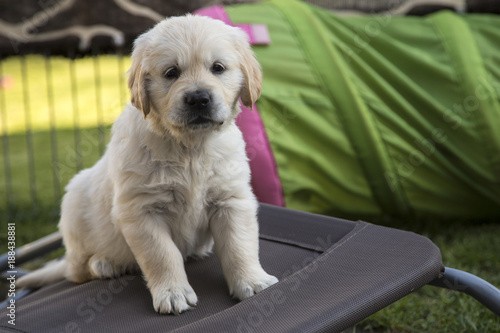 Golden Retriever Welpen Buy This Stock Photo And Explore Similar