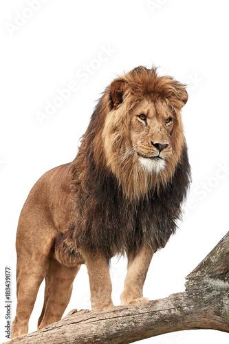 Foto op Plexiglas Leeuw Lion (Panthera leo)