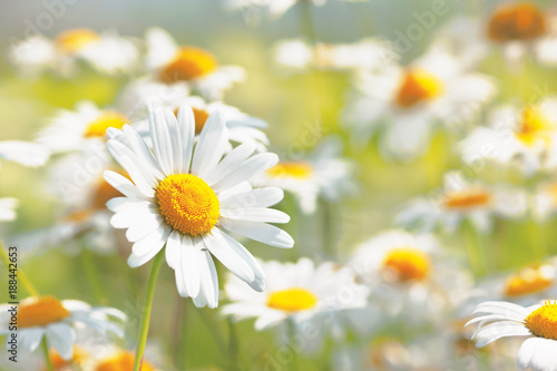 Flowering.  Blooming chamomile field, Chamomile flowers.