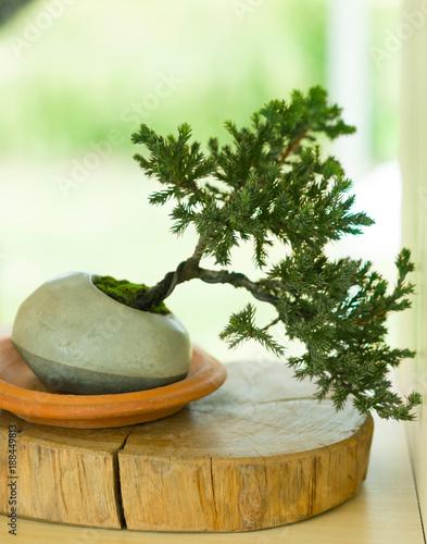 Fotobehang Bonsai pine bonsai tree in pot
