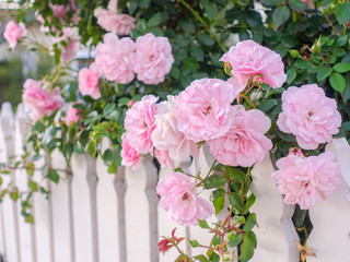 FototapetaClose up of fresh pink rose growing over white wooden garden fence.