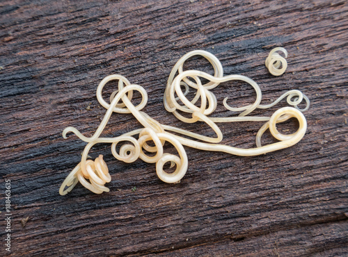 Helminthiasis Toxocara canis (also known as dog roundworm) or parasitic worms from little dog on wood background, Pet health care concept