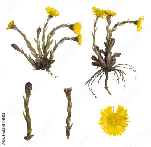 Valokuva  Collection of coltsfoot, Tussilago farfara isolated on white background