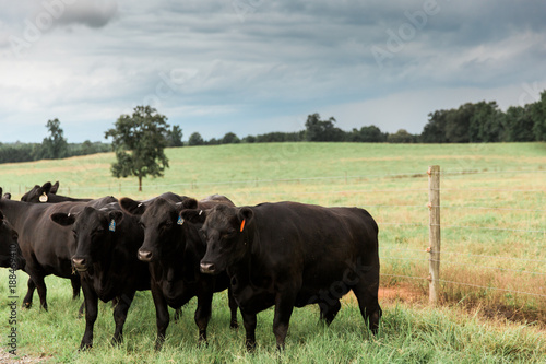 Fotografie, Obraz  Three Black Angus Cattle in a Row in Green Pasture