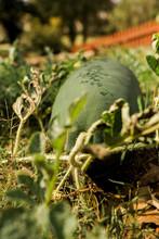 Heirloom Watermelon Growing On...