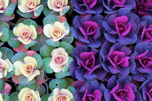 Fotografie, Obraz  Top view of colorful ornamental cabbages