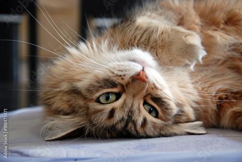 Keuken foto achterwand Kat Cat. Cats, lovely fluffy pets.