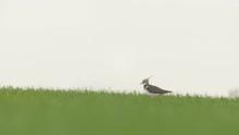 Lapwing In Wheat Field In Nege...