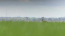 Lapwing In Wheat Field In Nege...
