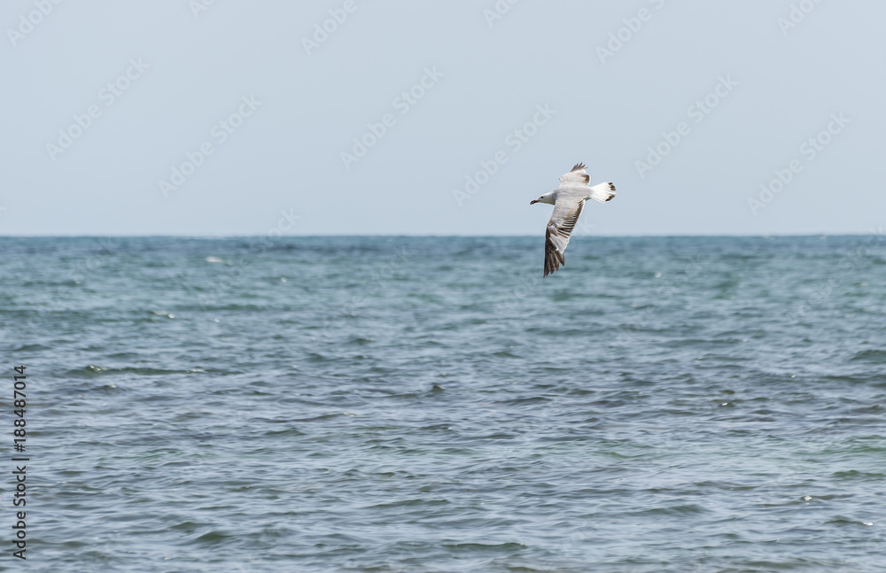 Audouin's Gull, Larus audouinii, in flight. It is an endangered gull restricted to the Mediterranean and the western coast of Saharan Africa. Photo taken in Santa Pola, Alicante, Spain.