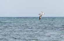 Audouin's Gull, Larus Audoui...