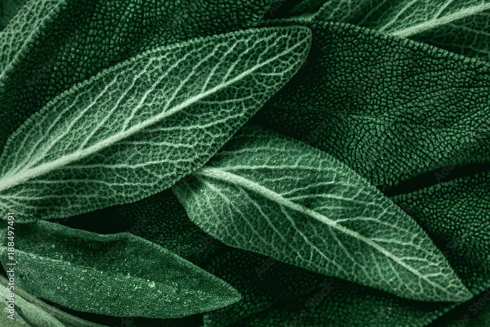 Fototapety, obrazy: Macro photography of fresh sage. Concept of organic food.