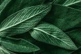 Macro photography of fresh sage. Concept of organic food.