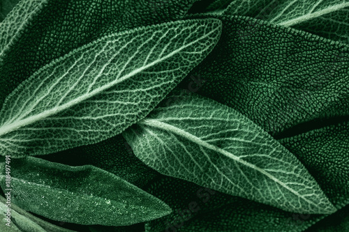 Spoed Foto op Canvas Macrofotografie Macro photography of fresh sage. Concept of organic food.