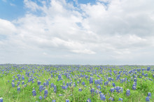 Texas Bluebonnet Filed And Blu...