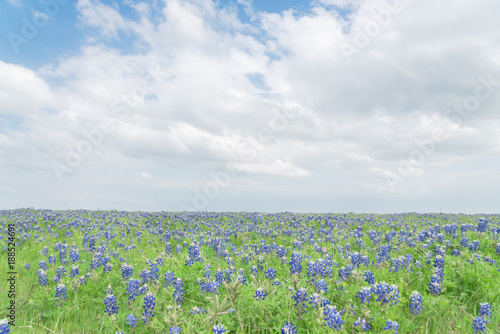 Texas Bluebonnet filed and blue sky background in Ennis, Texas, USA Canvas Print