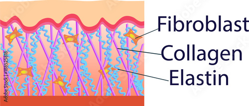 Fotografía  Vector illustration of structure cells with collagen, elastin and fibroblast