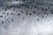 Texture Of Fish Scales (salmon).