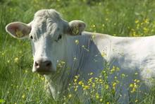 Portrait Of White Cow In Meadow